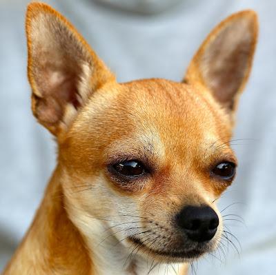 Chihuahua,