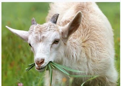 Ide Pasar yang tepat untuk Penjualan Daging Kambing