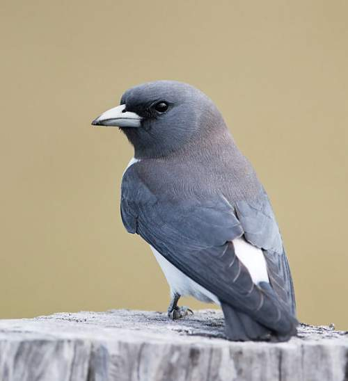 Indian birds - Picture of White-breasted woodswallow - Artamus leucoryn