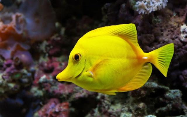 Dunia Ikan Hias - Yellow Tang
