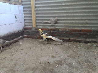 Yellow Pheasant Jantan