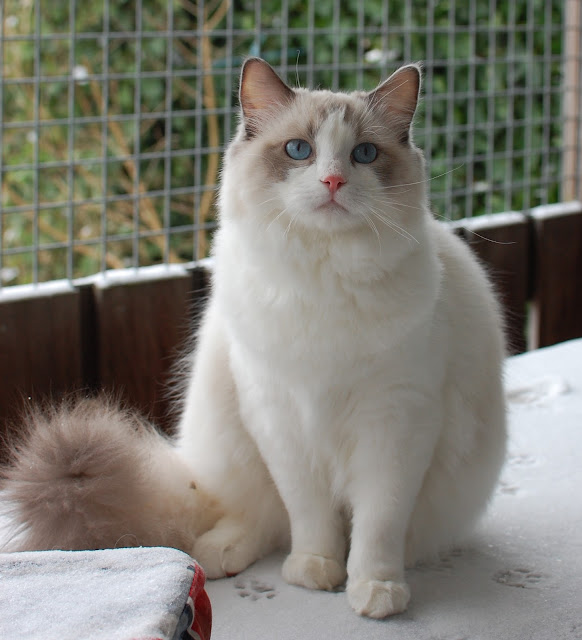 Pacificats Floris by Pacificat Ragdolls from flickr (CC-NC-ND)