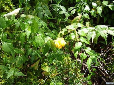 クシュクシュとした黄色い花