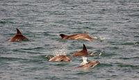 Çanakkale'de Yunusların Geçidi Yunus Sürüsü Çanakkale Sularında İzle