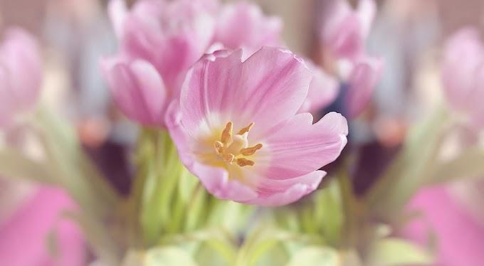 Flores, Tulipas, Flor Rosa, Flores da Primavera