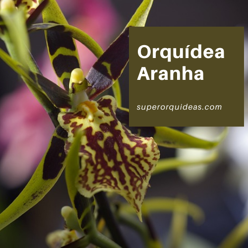 Orquídea Aranha