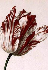 botanical illustration of tulip sempre augustus