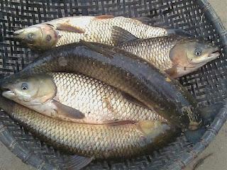 Nguyên nhân và cách khắc phục cá trắm bị vẹo cong đuôi