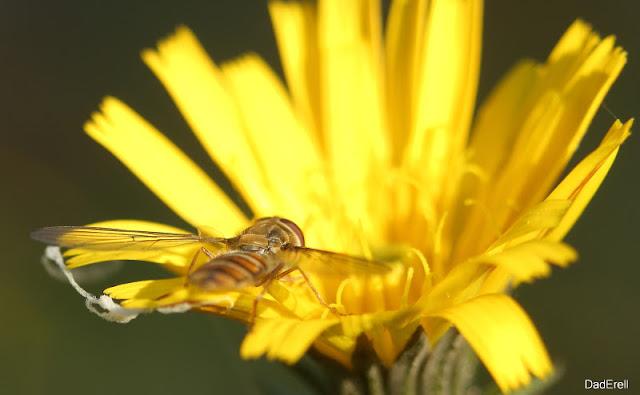 Un syrpohe sur une fleur de crépis