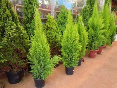 Plantas para decorar sua casa no Natal e  Réveillon