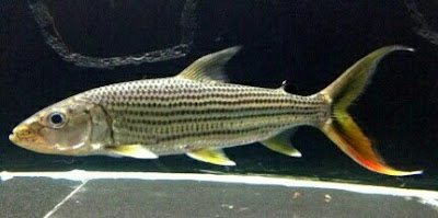 ikan tiger fish