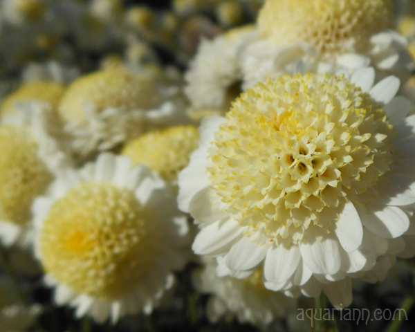 White Anemone Mum Photo by Aquariann