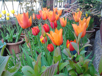 Tulips in container Green Fingered Blog