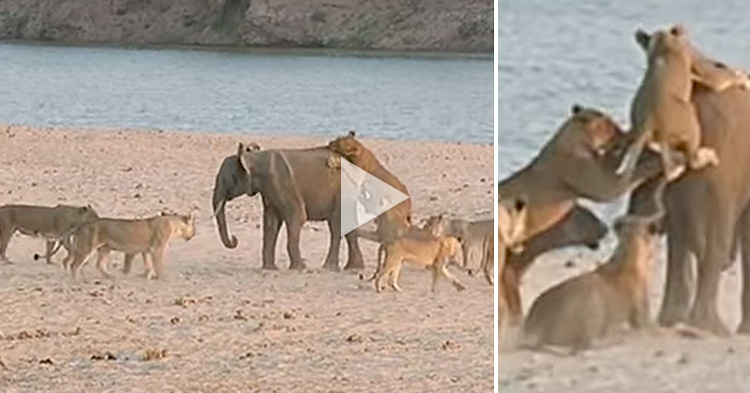Baby Elephant attacked by 14 Lions and escaped