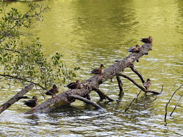 Ptaki wodne na jeziorze Lubiąż