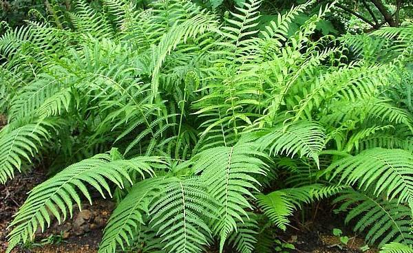 Cultura guaran los helechos arborescentes for Plantas sin semillas