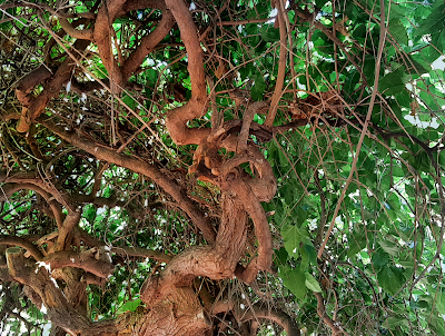 weeping mulberry twisted trunks