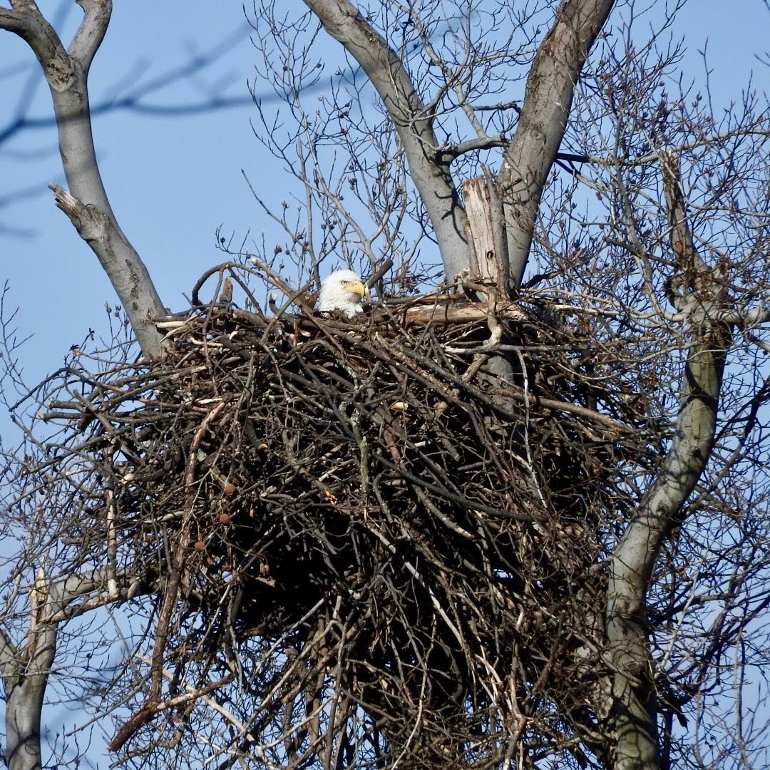 Terrierman\'s Daily Dose: Bald Eagle Nests on the Potomac