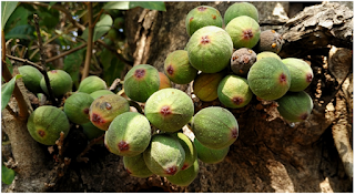 Ficus racemosa Linn.