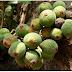 Ficus racemosa Linn | Umber