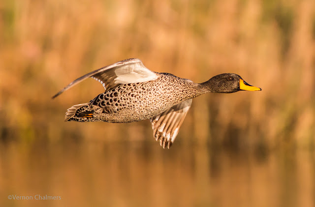 Yellow-Billed Duck: Canon EOS 70D  / Woodbridge Island Milnerton Cape Town