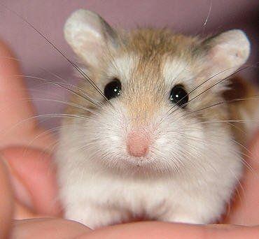 Robo Dwarf Hamsters - Dwarf Hamster Types