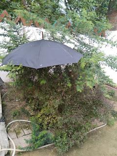बुलबुल के बच्चों को यास तूफान में बारिश से  बचाने के लिए लगाया छाता    #NayaSaberaNetwork