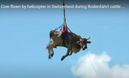 Πετάει η αγελάδα; Ναι αερομεταφορά από τα βουνά της Ελβετίας (βίντεο)