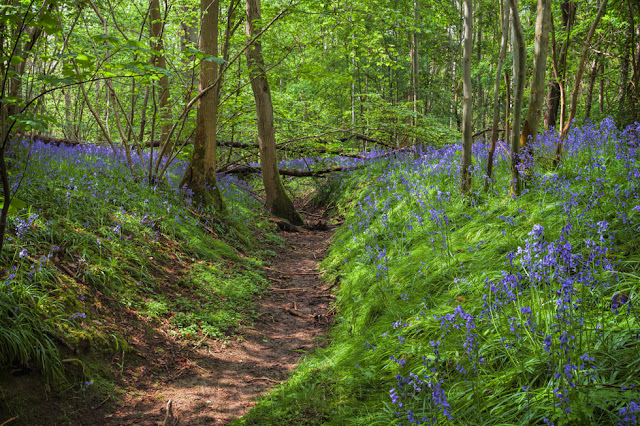 beautiful bluebells in spring fill Waresley & Gransden Woods in Canbridgeshire