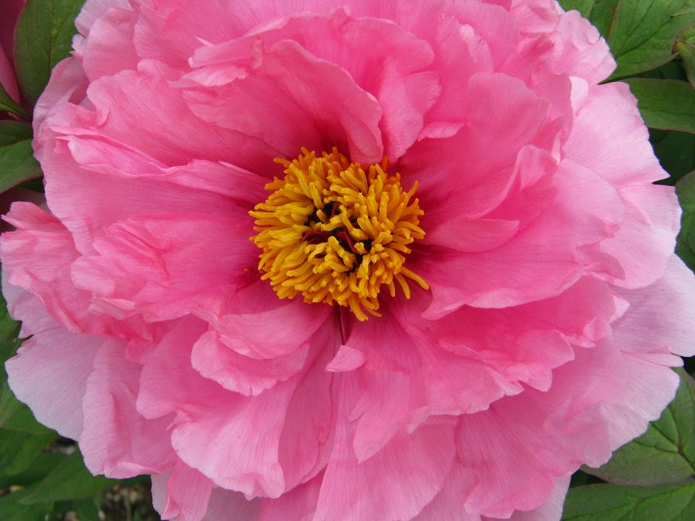 Royal Botanical Gardens pink tree peony by garden muses-not another Toronto gardening blog
