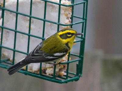 Photo of Townsend's Warbler on suet feeder