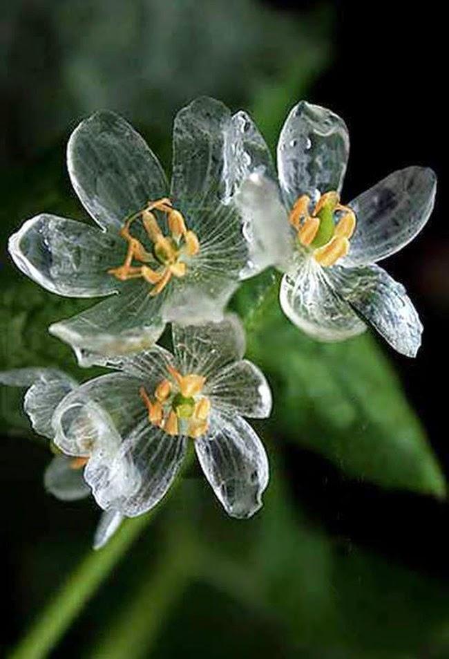 0a Diphylleia grayi, Bunga Ini Akan Berubah Transparan Jika Terkena Air