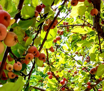 crab apples on branches