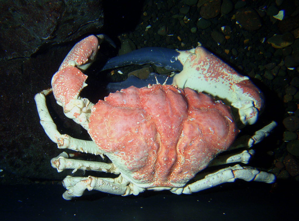 Giant king crabs