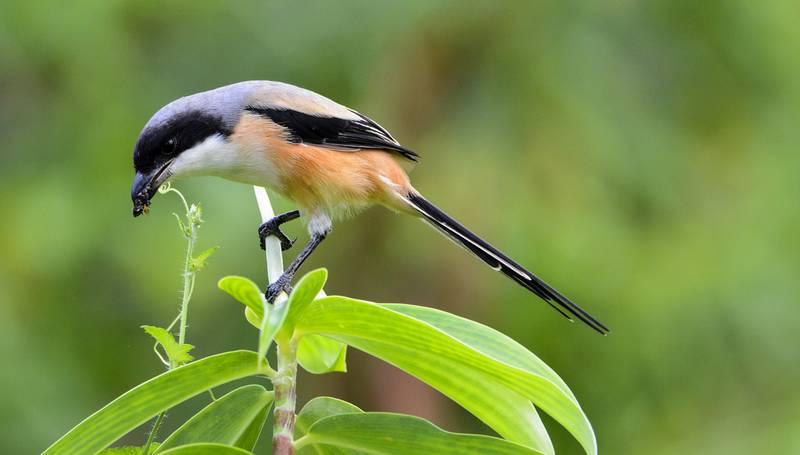 Jenis Burung Cendet di Indonesia