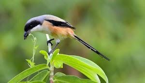 7 Makanan Burung Cendet yang Bagus Biar Cepat Gacor