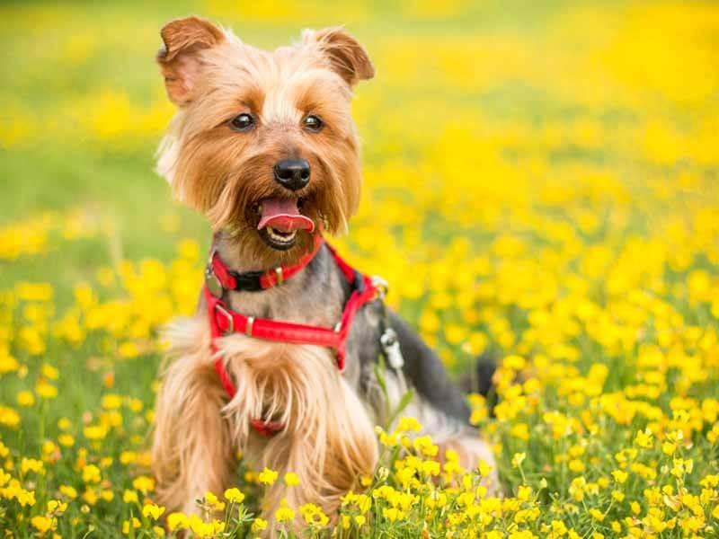 Smartest Small Dog Breeds