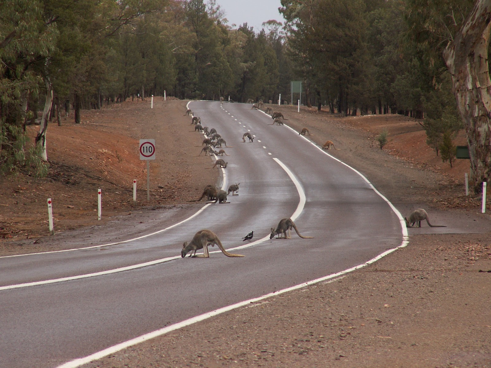 [Image: kangaroo3.jpg]