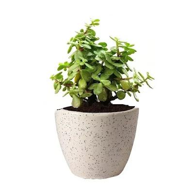 Jade Plant in Round Ceramic Pot | Best Succulent Plants Online in India | Best Desk Plants for Office