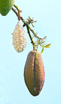 arboles argentinos Palo borracho Ceiba speciosa