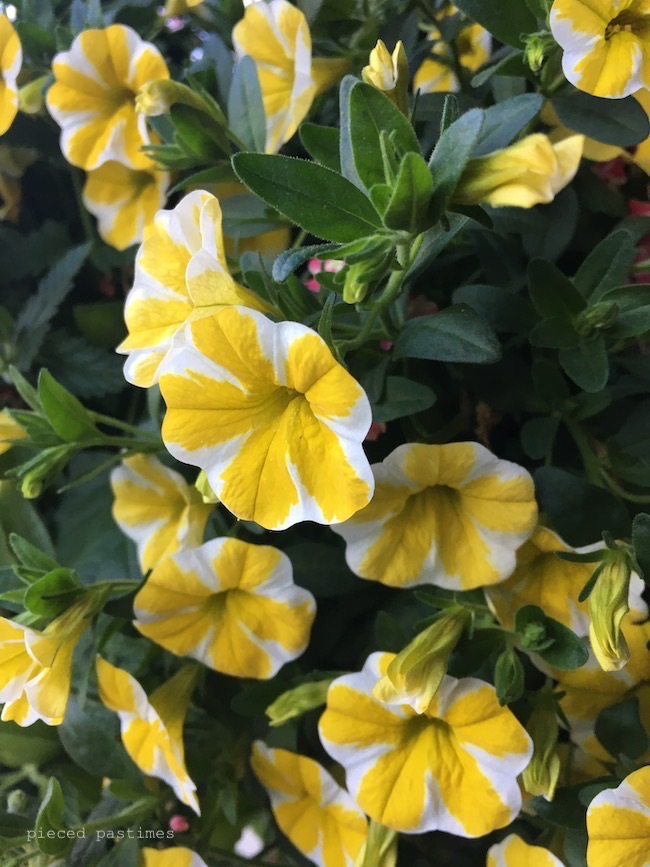Superbells® Lemon Slice® aka Calibrachoa at Pieced Pastimes