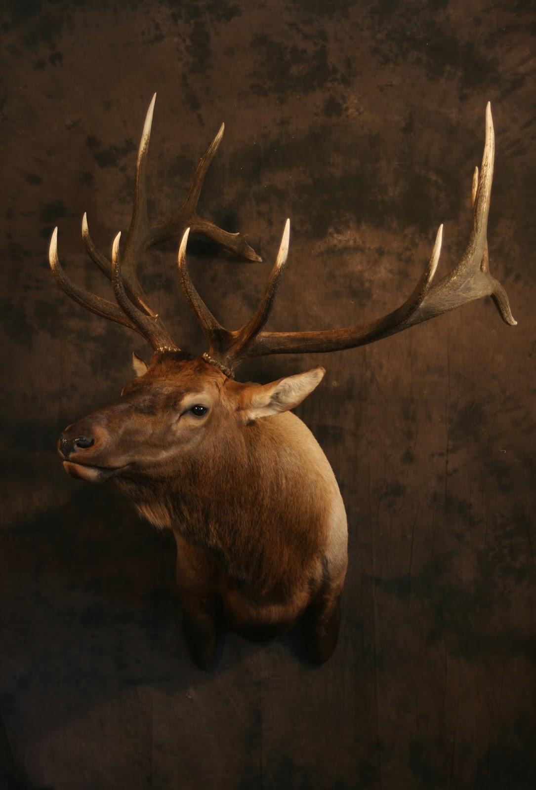 Taxidermy By Josh Hunt Elk