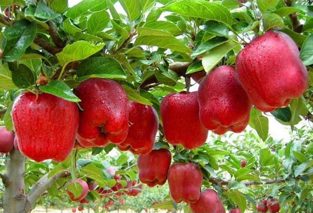 Obral! benih buah apel merah 4 seed Kota Malang #jual bibit buah buahan