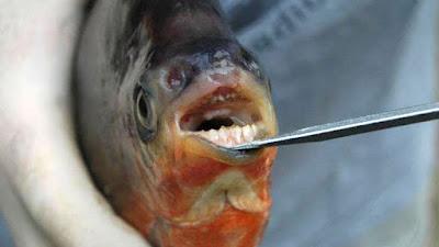 piraña vegetariana con dientes igual a las de un humano