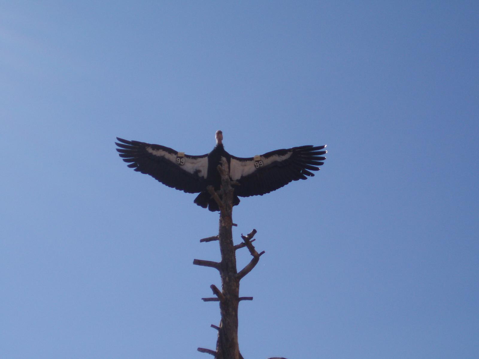 Let's Draw Endangered Species! : ): California Condor