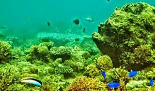 Berbeda dengan Potensi Wisata Teluk Hijau yang menandalkan keindahan dari segi keberadaan pasir putih dan juga warna air lautnya yang berwarna kehijauan, hal ini justru Bisa dikatakan cukup berbeda Sebab potensi wisata Teluk Biru ini mengandalkan keindahan yang justru terletak di keindahan alam bawah Bahari dengan keindahan pemandangan terumbu karangnya.   Keindahan terumbu karang di selanggrong yang begitu tampak eksotis yang dipenuhi oleh berbagai macam jenis biota Bahari, sehingga Teluk Banyu Biru Bisa menjadi suatu alternatif untuk kegiatan snorkeling saat kalian berada di Banyuwangi selain kegiatan snorkeling yang berada di Pulau Tabuhan, Bangsring ataupun di Pantai Bama di Baluran.