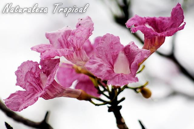 Flores de un Árbol Primavera, Tabebuia sp