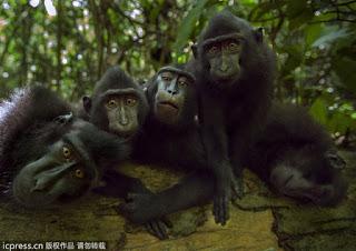 В индонезийском Национальном парке Тангкоко в Сулавеси живут очень дружелюбные павианы, которые так привыкли к туристам, что даже улыбаются им при встрече.