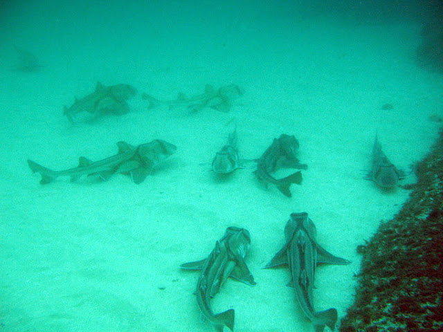 Group of H. portusjacksoni
