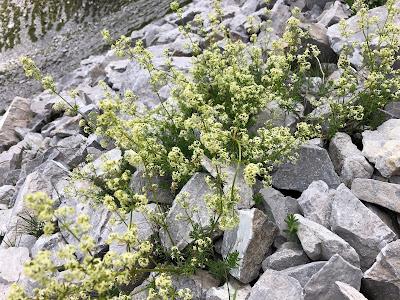 [Rubiaceae] Galium spp. – Bedstraw (Caglio)